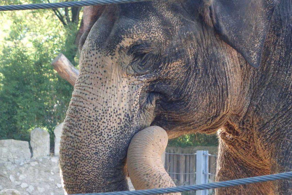 Elefant in der Wilhelma