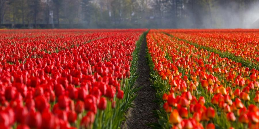 Auch für die Tulpenfelder ist Holland berühmt