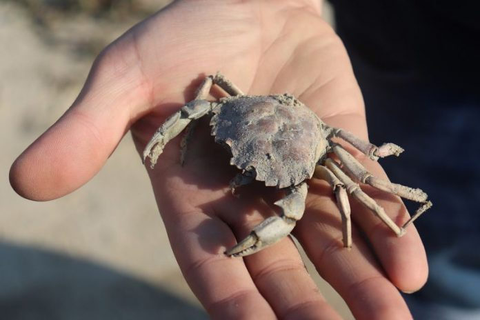 Krabbe auf einer Hand